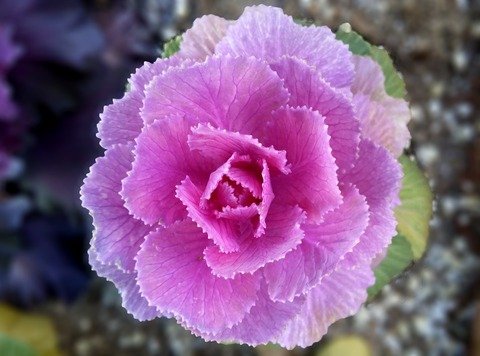 flowering-cabbage-3597939_1920