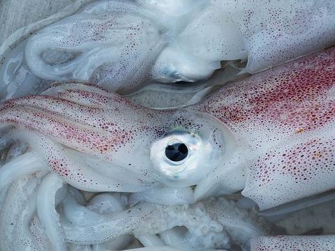 squid-1261432__480