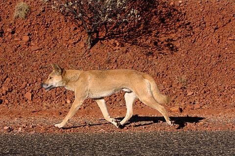 490px-Dingo_on_the_road