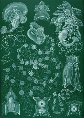 500px-Haeckel_Siphonophorae_77