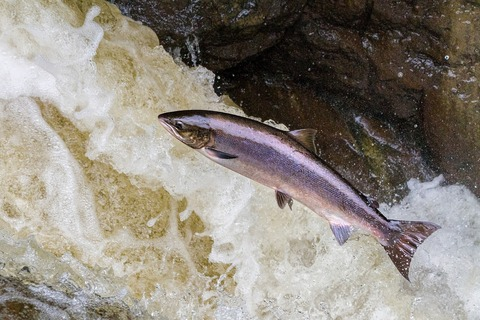 salmon-3704543_1280