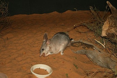 500px-Easter_Bilby