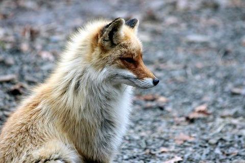 fox-2360265__480