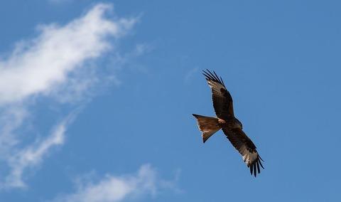 red-kite-4274698__480