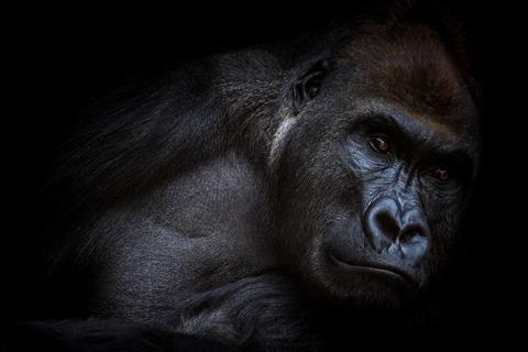 gorilla-2945283_1280