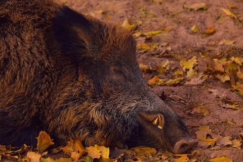 wild-boar-3761763__480