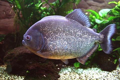 piranha-587674__480