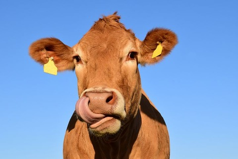cow-1715829__480