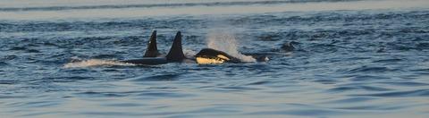 orca-596875__480