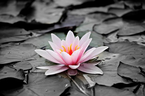 water-lily-1510707_1920