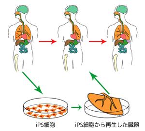 600px-Ips_cells_ja