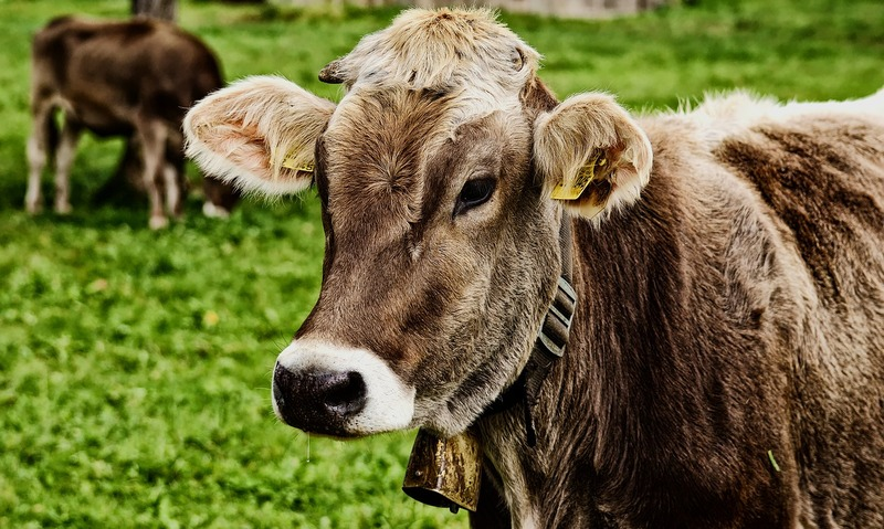 cow-3611501_1280