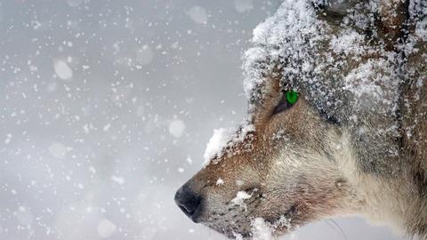 wolf-2043464_1280
