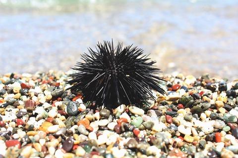 sea-urchin-2496947_1280