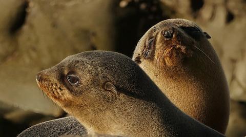 fur-seal-pups-1744222_1920