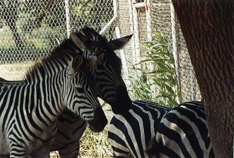 500px-4_zebras,_réserve_africaine_de_Sigean