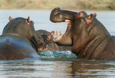 hippopotamus-95472__480