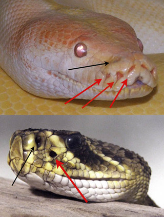 The_Pit_Organs_of_Two_Different_Snakes