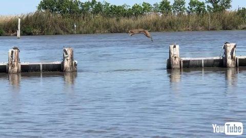 ジャンプで川を見事に渡るボブキャットから目が離せない