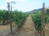 整列したブドウ畑