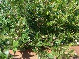 ミルトの木