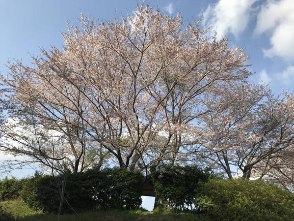 桜ソメイヨシノ2018_1