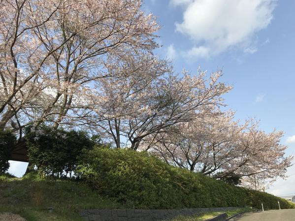 桜ソメイヨシノ2018_2