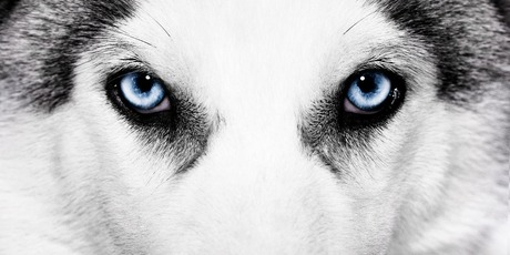 Siberian-Husky-Eye-Colors