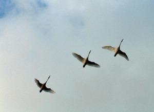 白鳥飛~1
