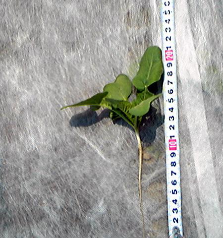 大根2009-5-11播種