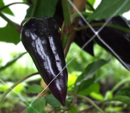 紫ピーマン2