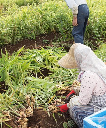 生姜収穫091105-2