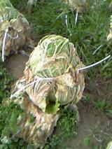 縛り白菜1
