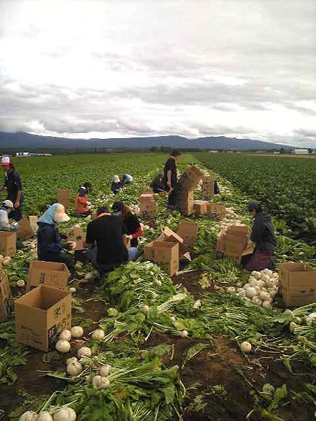 かぶ収穫風景2008-8