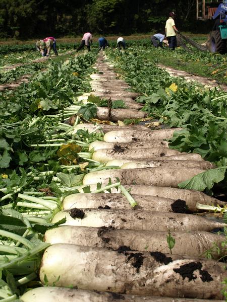 大根収穫作業
