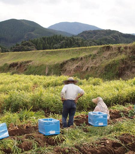 生姜収穫091105