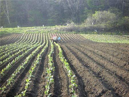 嬬恋キャベツ定植2009-5-11