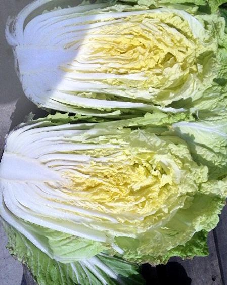 大隅春白菜20100312