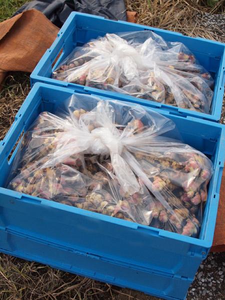 生姜収穫091105-3