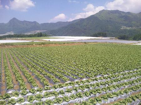 川上レタス20100612-2