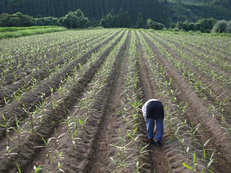 生姜畑20090707
