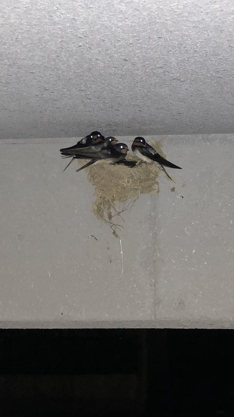 【画像】うちの車庫にツバメが巣を作りやがったwwwwww