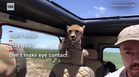 【旅行客固まる】サファリ旅行中、チーターが車内に進入wwwwww
