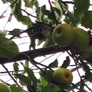 2014-08-23林檎と蝶