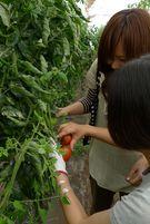 tomato大 (2)