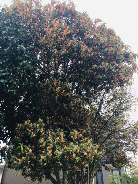 巨木金木犀