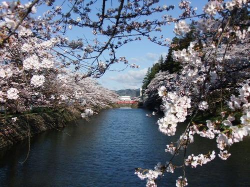 1米沢の桜