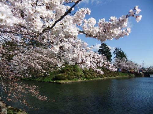 8米沢の桜
