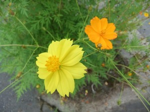 1黄色のコスモス