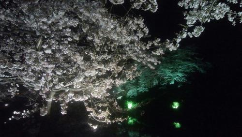 米沢の桜1